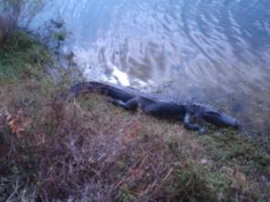 Alligator photos taken by Nancy Richie in Big Cypress Swamp, January 2010.