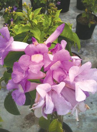Fragrant Plants Coastal Breeze News