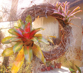 Bromeliads on grape vine wreath.