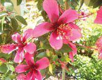 Hibiscus Tree (Fijii) - Photos by Mike Malloy