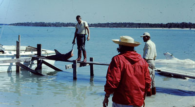 Francis Howard standing on a makeshift dock at Coconut Island bringing in a shark for processing. Just off the dock can be seen the Great White Shark caught that day with a bite taken out of its pectoral fin.