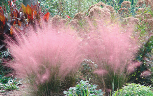 Tall Ornamental Grass Varieties Floridas ornamental grasses coastal breeze news muhley grass workwithnaturefo
