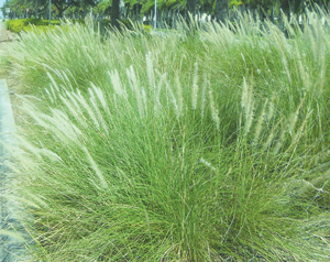 Ornamental Grasses Florida Floridas ornamental grasses coastal breeze news fakahatchee grass workwithnaturefo