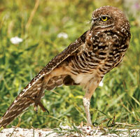 Please do not harass wildlife – enjoy their normal behavior. Here is a Burrowing Owl stretching… Owl Ballet?