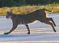 Bobcat. Photo by Frank Steiger