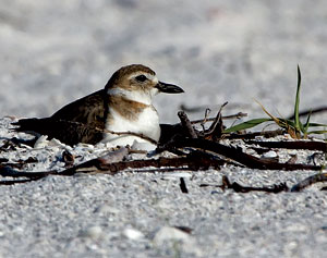 A Wilson Plover nesting out on the Sand Dollar spit, Big Marco Pass. Photo by Jean Hall