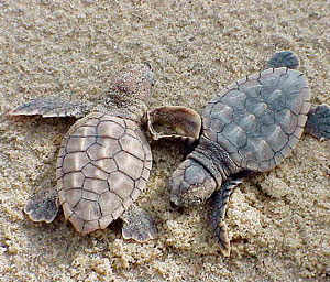 Sea turtles nest and hatch throughout SWFlorida in the summer months.