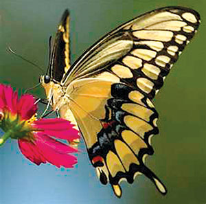 Underside of Giant Swallowtail