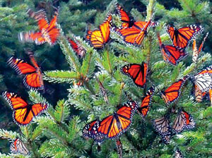 migrating monarchs submitted photos - Florida Butterfly Garden