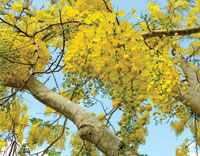 Springs big three trees coastal breeze news golden chain tree flowers mightylinksfo