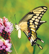 The Giant Swallowtail.SUBMITTED PHOTO
