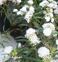 Milkweed Perrennis.