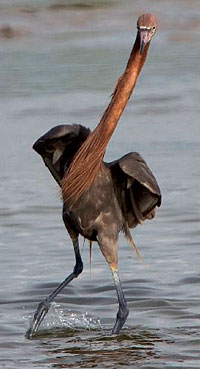 The Reddish Egret can stand up to three feet tall and have a wing span of 50 inches.
