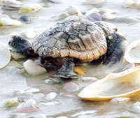 A hatchling makes it's way to the Gulf of Mexico on Sand Dollar Island. PHOTO by Khristina Shope