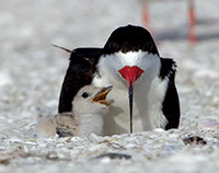 Black Skimmer with newly hatched chick. PHOTO BY JEAN HALL