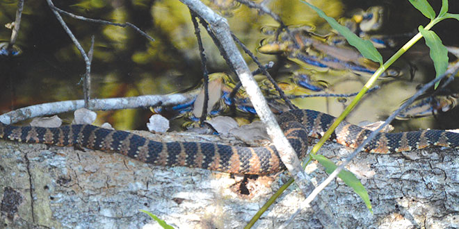 Young Cottonmouth, Big Cypress Swamp