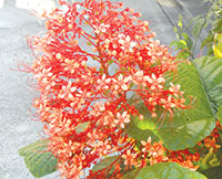 Clerodendrum Pagoda flower