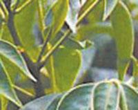 Coffee cassia (Cassia occidentalis)