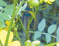 Cassia ligustrina Privet cassia