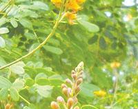 Cassia wisilizenii. photoS By Mike Malloy