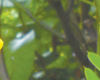 Popcorn cassia (Cassia didymobotrya)
