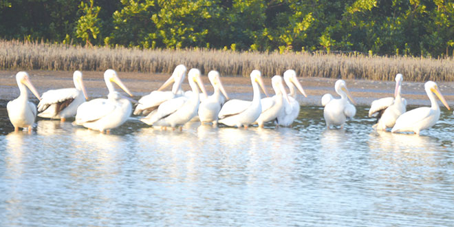 White Pelicans at Tigertail Beach last winter. PHOTO BY BOB MCCONVILLE