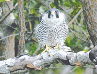 A Peregrine Falcon rests in a mangrove tree near Marco Island last January. PHOTO BY KENT MORSE