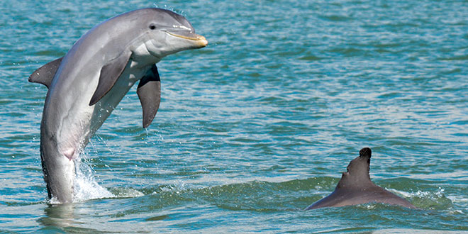 Socializing is a major function of our dolphin society. PHOTOS BY BOB MCCONVILLE AND KENT MORSE