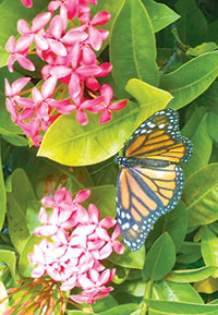 Monarch feeding on Ixora.