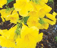 Tecoma stans (Yellow Bells).
