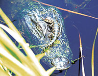 A baby gator is protected by its mother, resting on her head, near the Big Cypress Boardwalk.