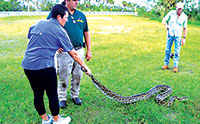 Cathy, Bob's wife, successfully positions a Burmese python for  capture during a training session for the recent 2016 Python Challenge. PHOTOS BY BOB MCCONVILLE