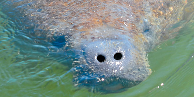 Manatees are curious, often approaching slow moving boats. Photo by Carl Kelly
