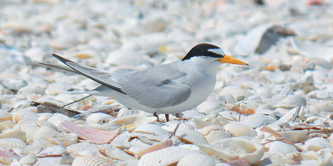 Photos by Bob McConvilleA Least Tern rests on Tigertail Beach, pretty well camouflaged among the sand and shells.