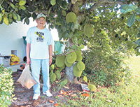 Al Bismonte with huge jackfruits ready for picking. Photos by Maria Lamb