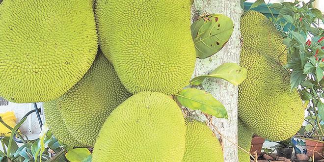 "Ten ""humongous"" jackfruits hang from the tree."