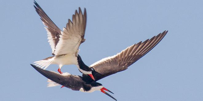 Black skimmer male riding on back of female.