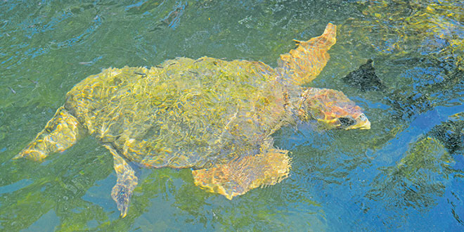 A sea turtle makes its way across a reef this past summer. Photo by Bob McConville