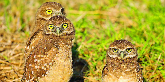 Photo by Jean Hall |Three burrowing owl chicks?all ready to fledge.