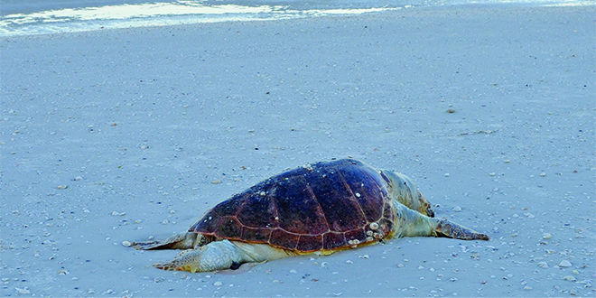Photos by Chadd Chustz | Collier County Sea Turtle Biologist collected the dead loggerhead on Sunday morning.
